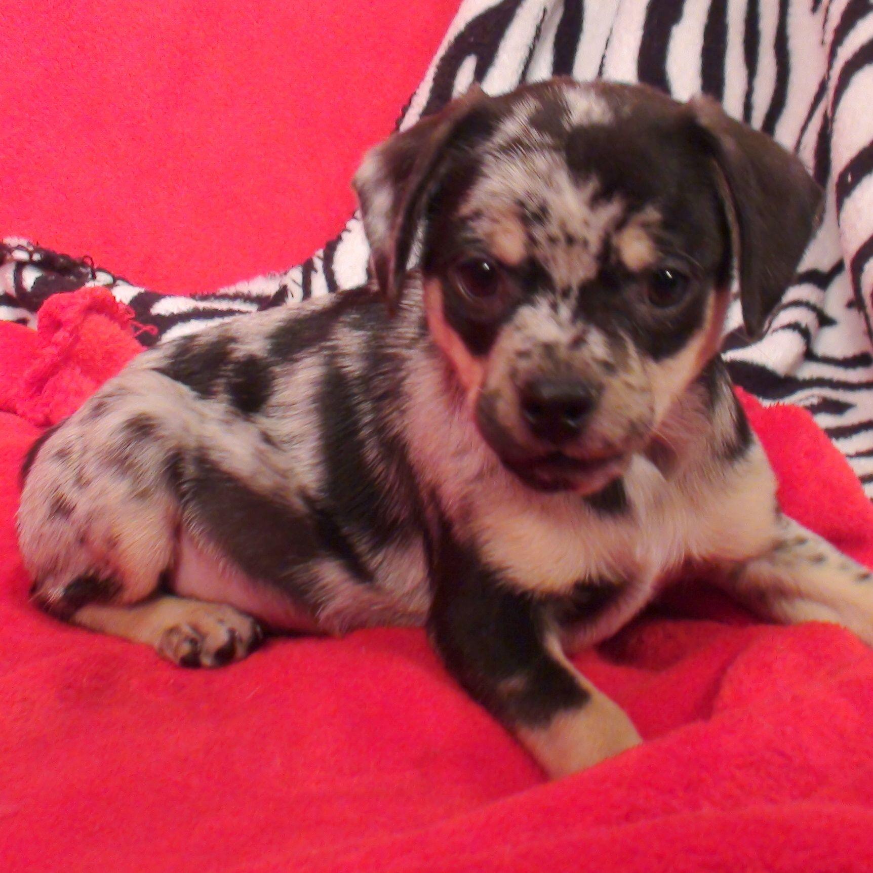 Queen Elizabeth Pocket Beagle Puppy Pocket Beagle Puppies
