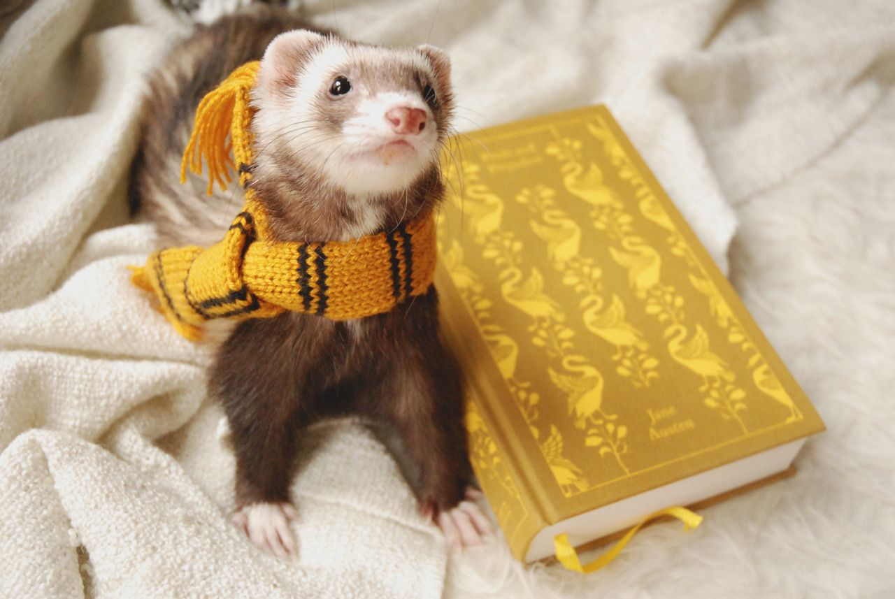 Hufflepuff ferret (even though its supposed to be a badger)