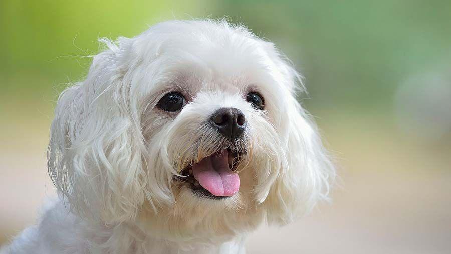 5 Calm Dog Breeds Best Family Dogs Maltese Dogs Calm Dog