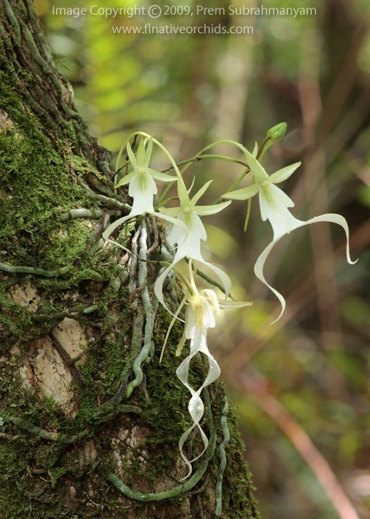 A orquídea fantasma ... Florida e Cuba