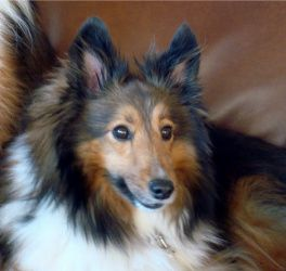 Adopt Sasha Adopted On Shetland Sheepdog Shetland Sheepdog