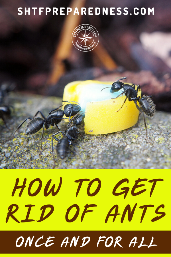 How To Get Rid Of Ants Once And For All In 2020 Get Rid Of Ants