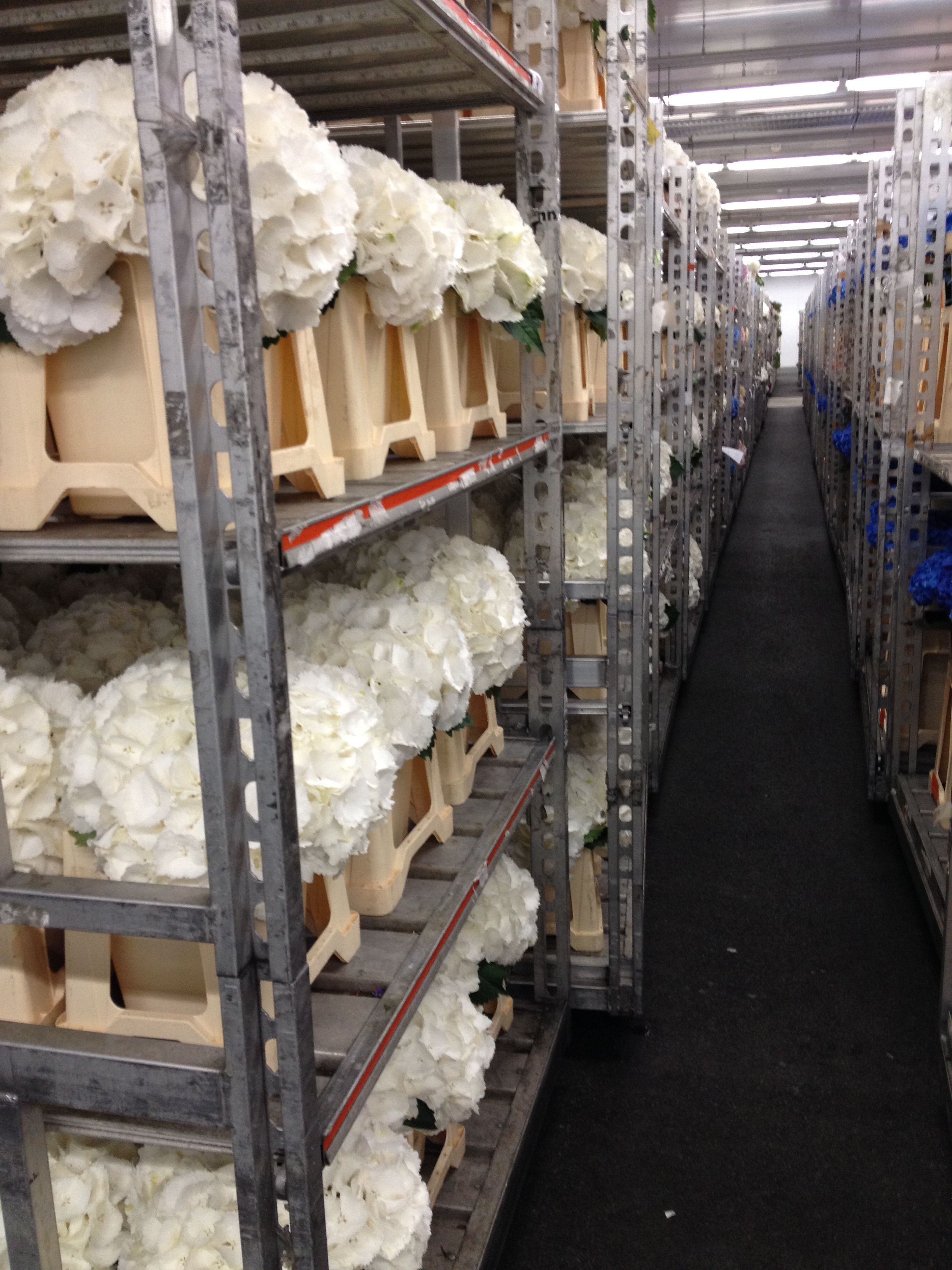@FloraHolland . flower auction in Aalsmeer. Our hydrangeas Schneeball along with many others in line to wait for auction. (Rob van Mastwijk)