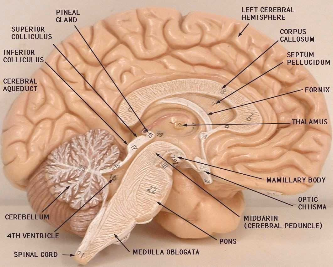 Anatomy Lab Models Brain Labeled Gallery Model Of The Brain Labeled Human Anatomy DiagramYou can find The brai