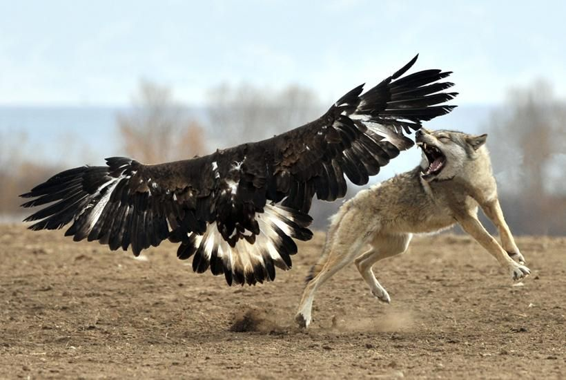 maybe that's a wolf? fights a large bird of prey.