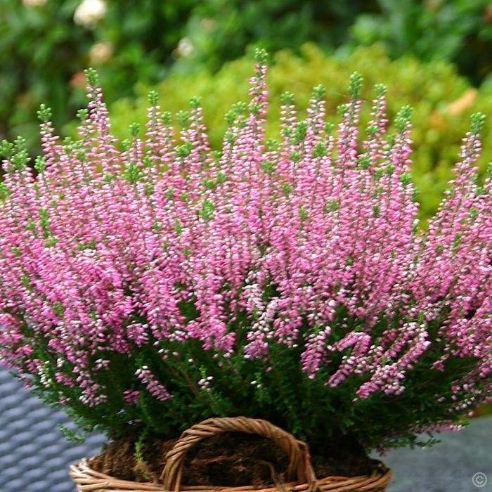 Erica carnea bruy re rose 1 arbrisseau achetez en ligne sur internet commander vite jardin for Commander fleurs sur internet