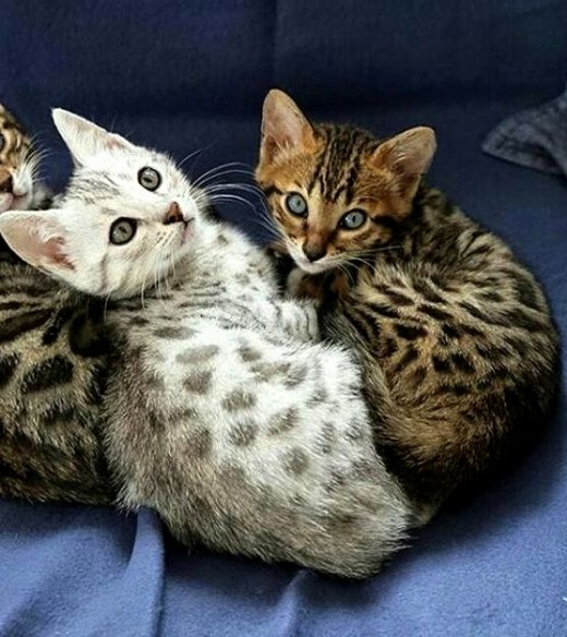 The Egyptian Mau - Cat Breed Information and Care #catbreeds