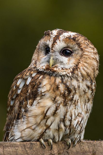 Tawny Owl 3 by tomstanierphotography on Flickr. Tawny
