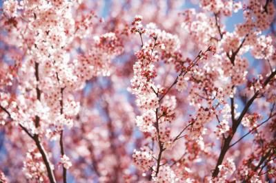 Are Cherry Blossoms Poisonous To Cats Types Of Cherries Cherry Blossom Tree Blossom Trees