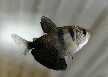 Black tetra Gymnocorymbus Aquariums Life