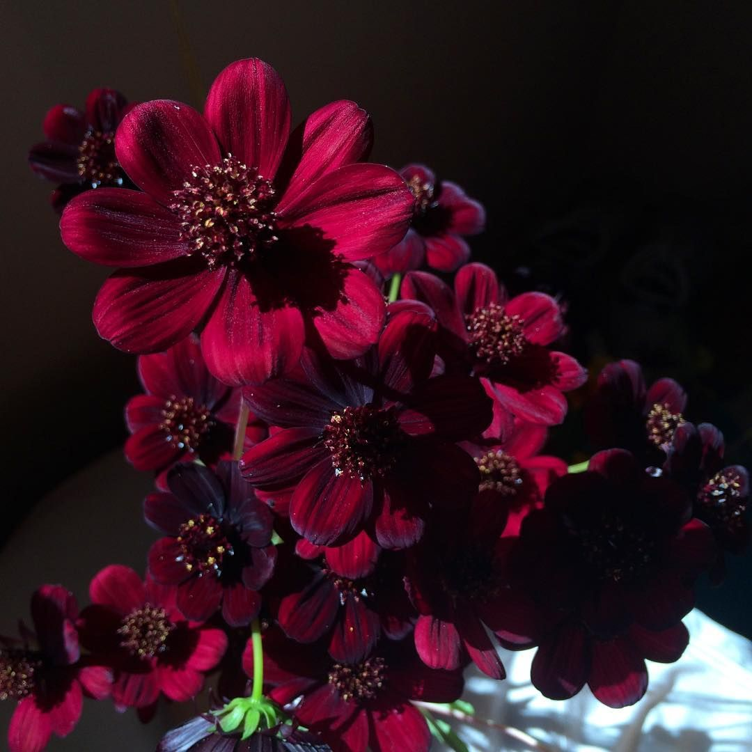 Chocolate cosmos from my garden actual romance flower pictures