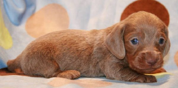 Mini Dachshund Puppies For Sale In Va Zoe Fans Blog Dachshund