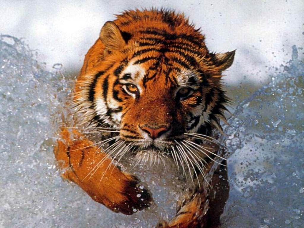 Waterfall Nature Hd Widescreen Wildlife Predators Lion Tiger Wallpaper Siberian Bengal