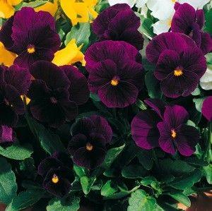 Penny Violet Viola Annual Flower Seeds Amores Perfeitos