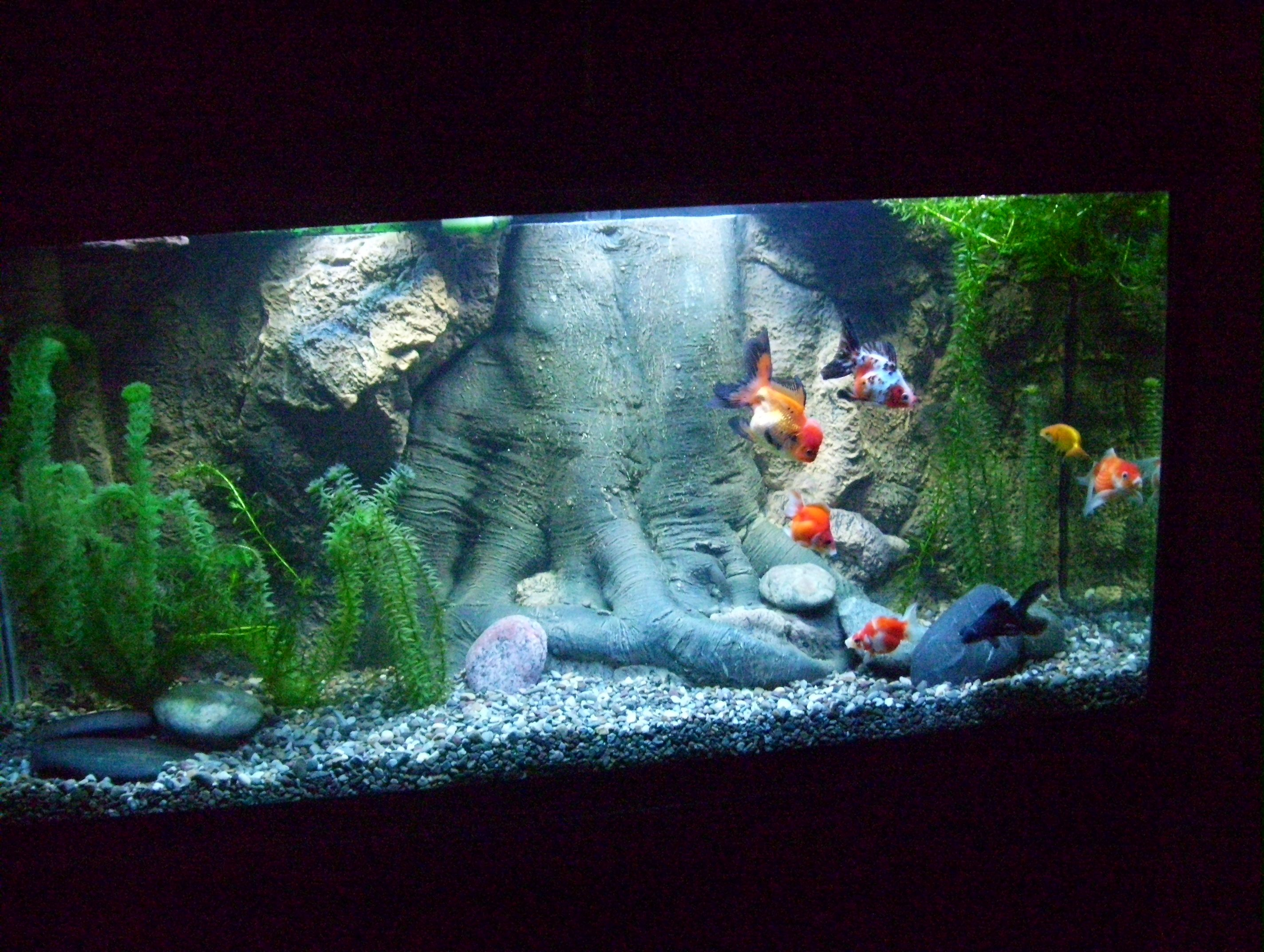 Fish in tank with goldfish - My Son S New 90 Gal Fancy Goldfish Tank