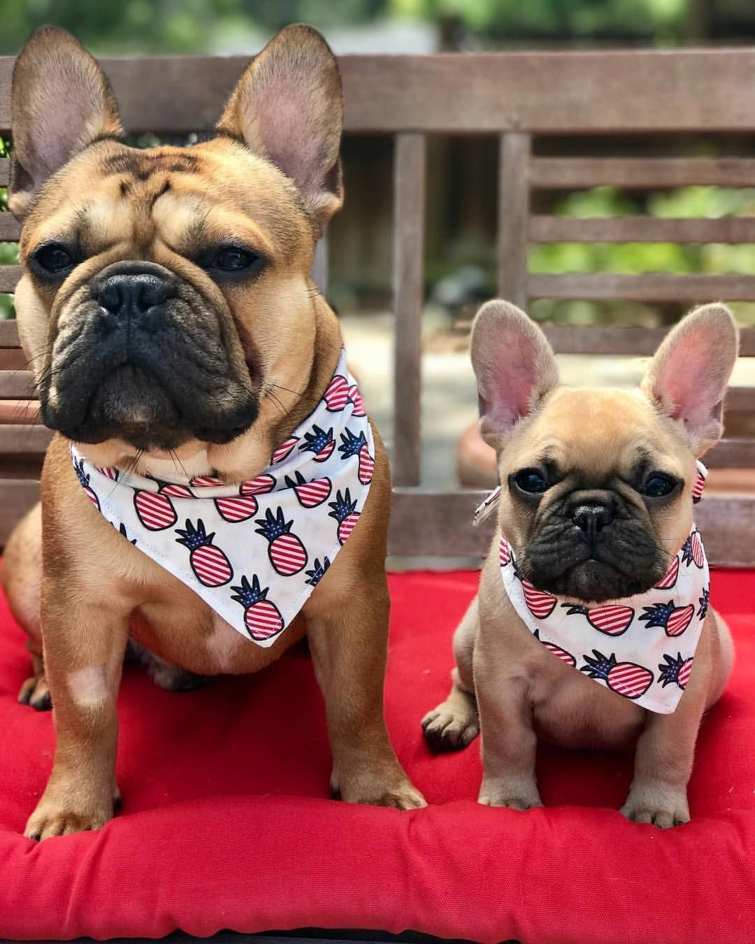 All The Things We Love About The Calm Bulldog Puppies