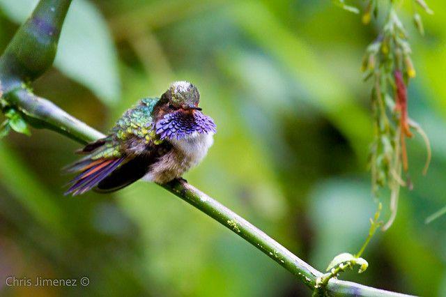 Volcano Hummingbird | Defending its territory, Dota, Costa R… | Chris Jimenez | Flickr