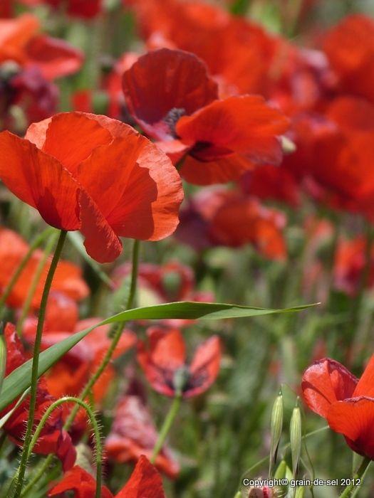 Klatschmohn Gilt Als Die Blume Der Leidenschaft Pfluckt Man Ihn Ist Die Enttauschung Gross Seine Blatter W Mohn Mohn Rot Blumen