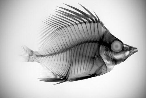 Bones 2 An X Ray Of A Fish By Brandon Goldman X Ray Nature