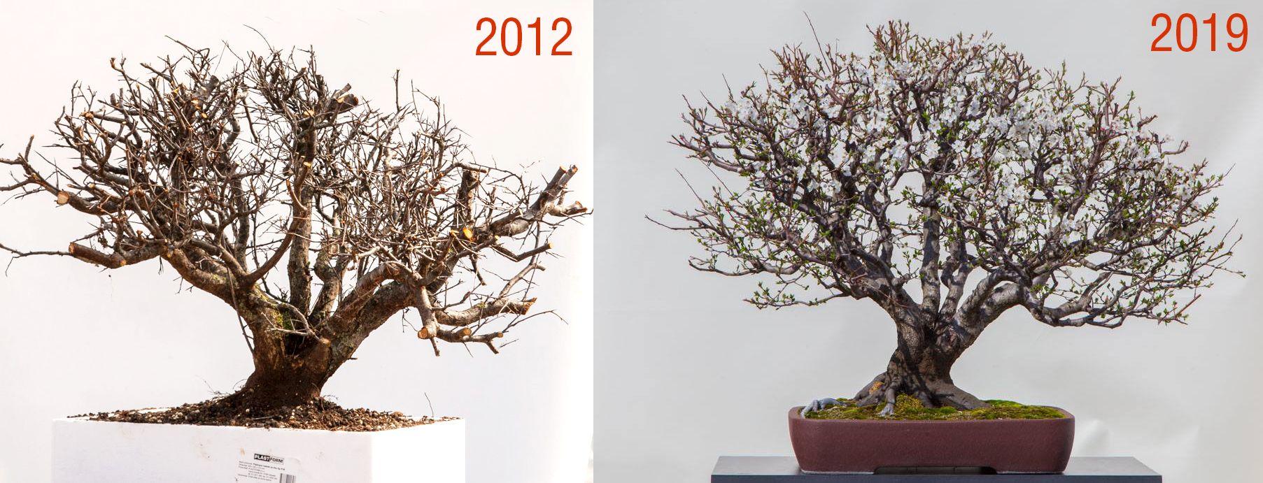 Prunus Cerasifera By Marija Hajdic Prunus Plants Bonsai