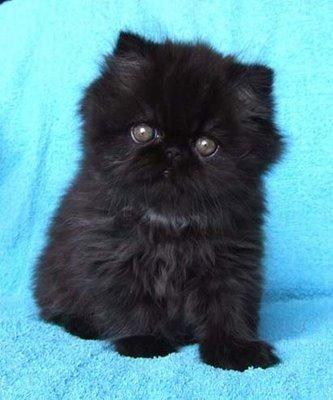 Black Persian Kitten Chaton Persan Bebe Chat Jolis Chats