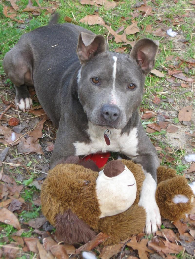 Adopt Kia on Pitbull terrier, Dog adoption, Nanny dog