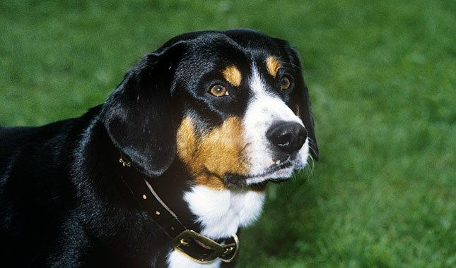 Entlebucher Mountain Dog Breed Information Photo Ron Willbie