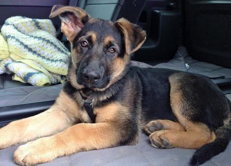 Kovu The German Shepherd I Want A German Shepherd Soooo Baaadddd