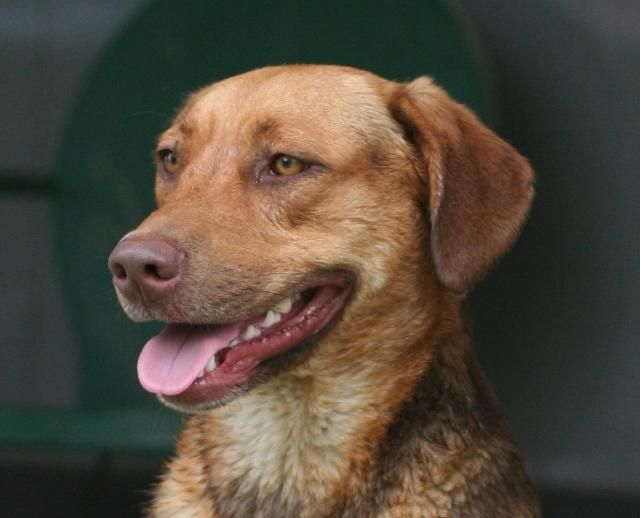 Adopt Wally On Labrador Retriever Dog Retriever Dog Labrador Retriever
