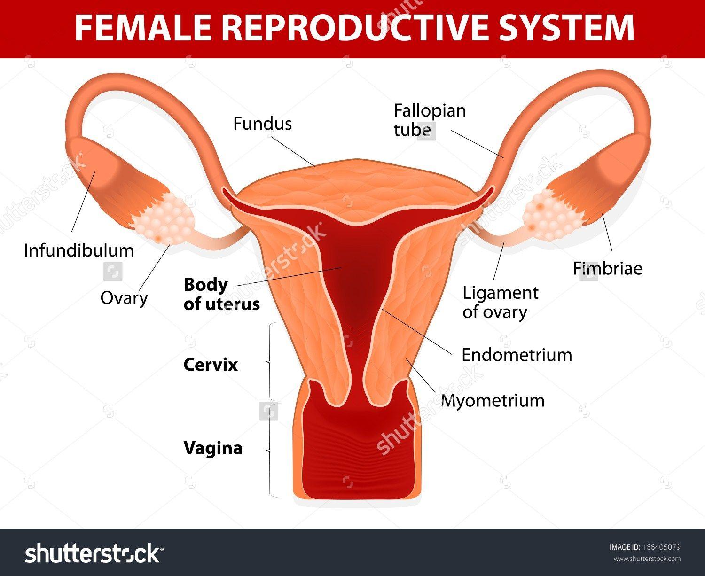 Diagram Of The Female Anatomy Koibana Info Reproductive System Female Reproductive System Fibroids Symptoms