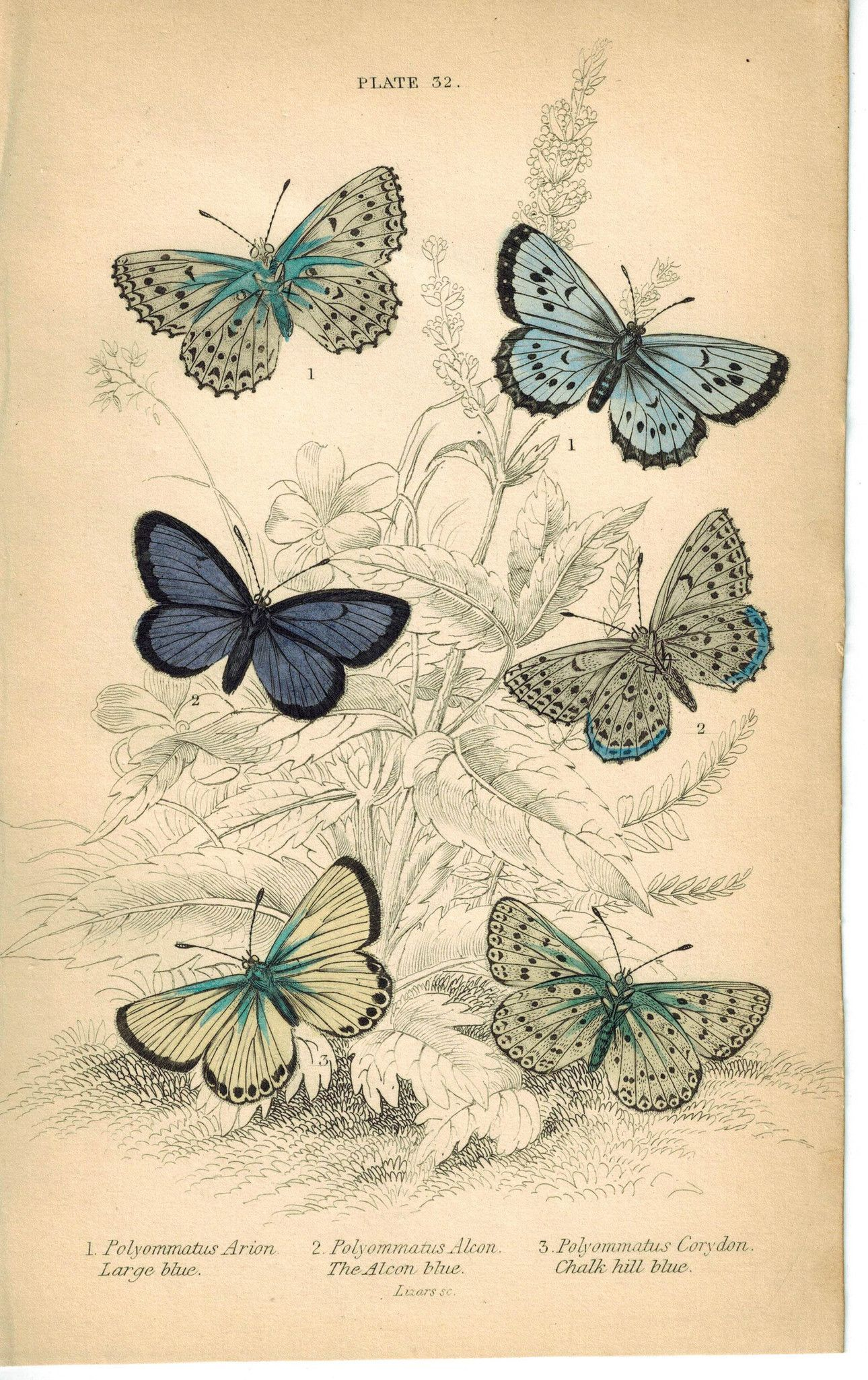 Large, Alcon & Chalk-Hill Blue Butterfly 1835 Jardine Duncan Antique Print