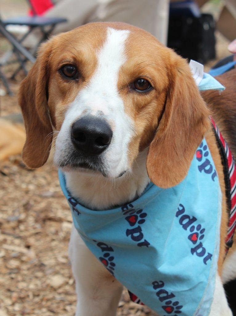 beagle dating