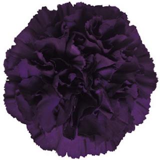 Dark Purple Carnation Moonvista Florigene Moon Series