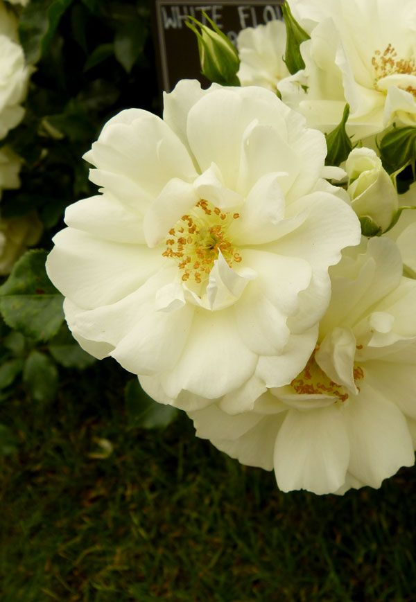 The 14 best pure and beautiful white rose varieties rose white rose white flower carpet low growing bush rose mightylinksfo
