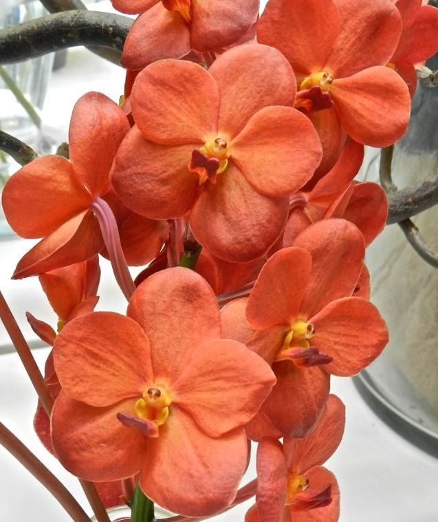 Orange Orchids-Platanthera Ciliaris