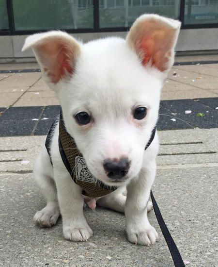 Ghost The Pomeranianjack Russell Terrier Mixed Breed B Dogs