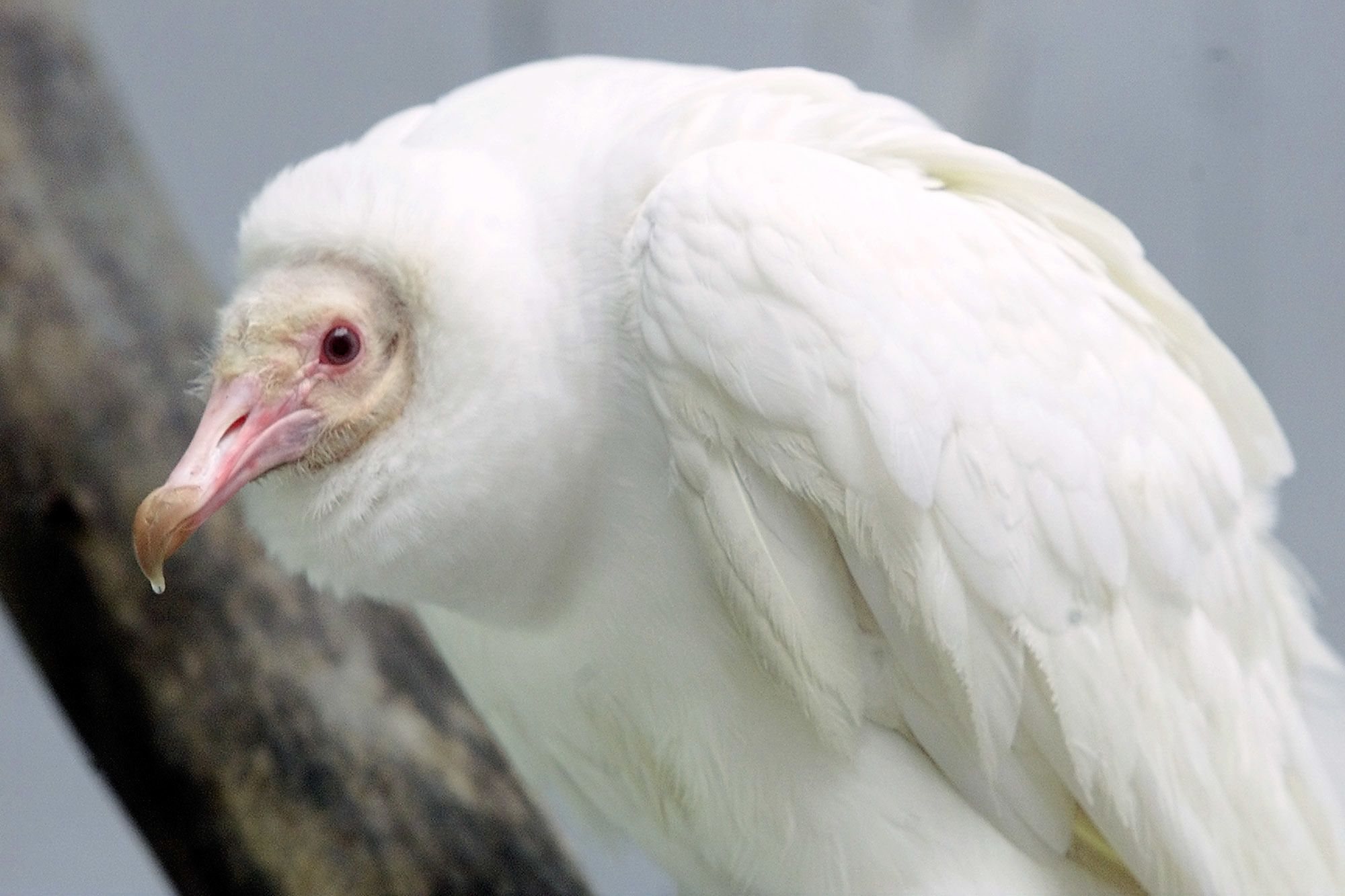 An albino Black Vulture, the only one known in existence and just the second ever seen, sits on his perch at the World Bird Sanctuary Thursday, April 25, 2002 in St. Louis.  The bird was sent to the WBS five weeks ago after it was found in Michigan, where officials feared that it would not survive in the wild. (AP Photo/Tom Gannam) via @AOL_Lifestyle Read more…