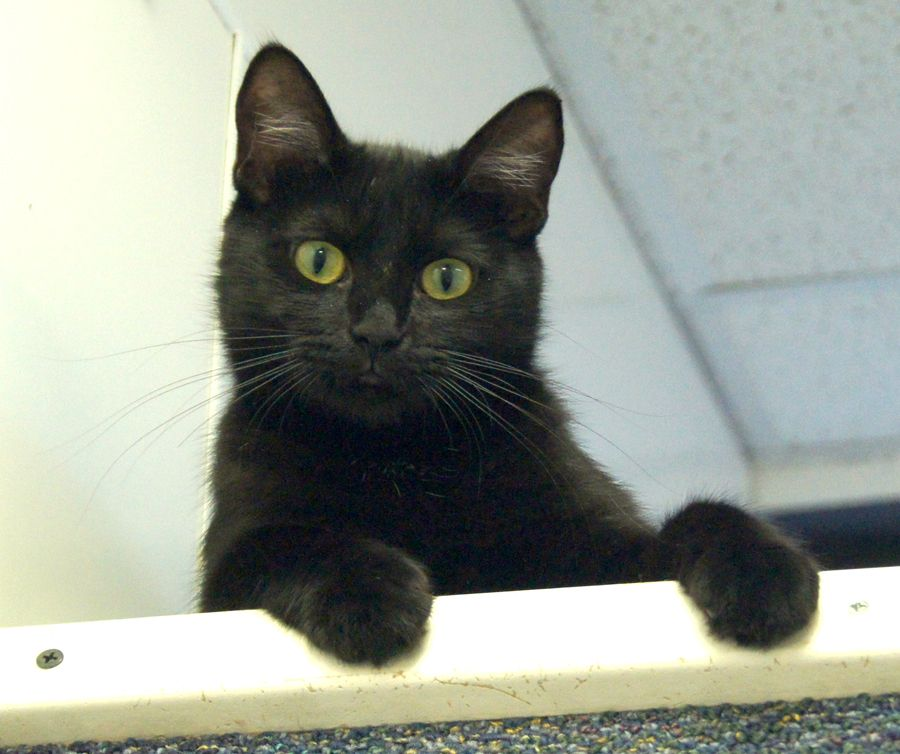 Zalia S A Sleek Black Pantherette With The Lean Build And Big Ears
