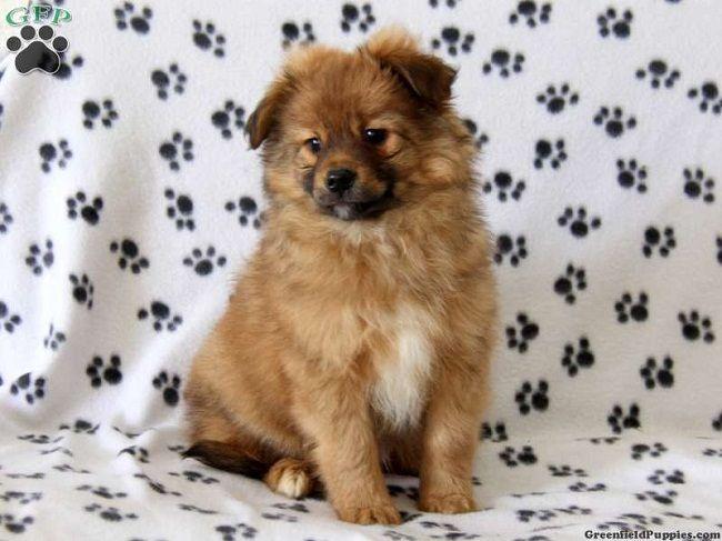 Pitbull Pomeranian Mix Puppies Zoe Fans Blog Pomeranian Mix
