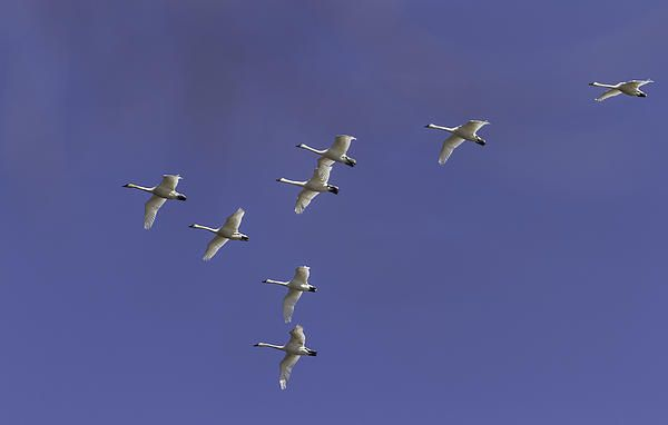 The Swans are making their migration north and it is a pleasure to see and photograph them. The deep blue sky gives a great contrast to the white swans.