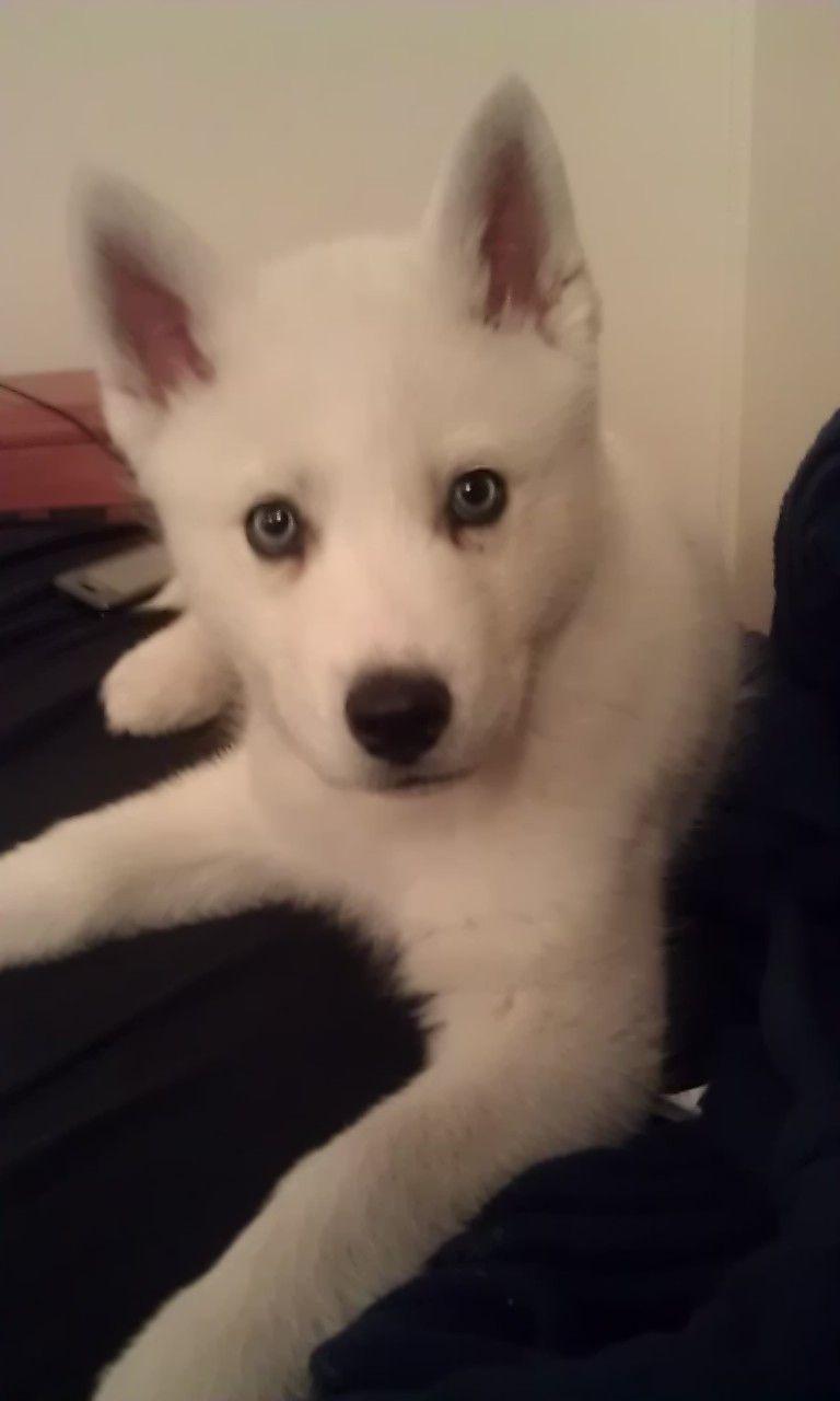 white siberian husky puppy - makes me miss my Shiloh ...