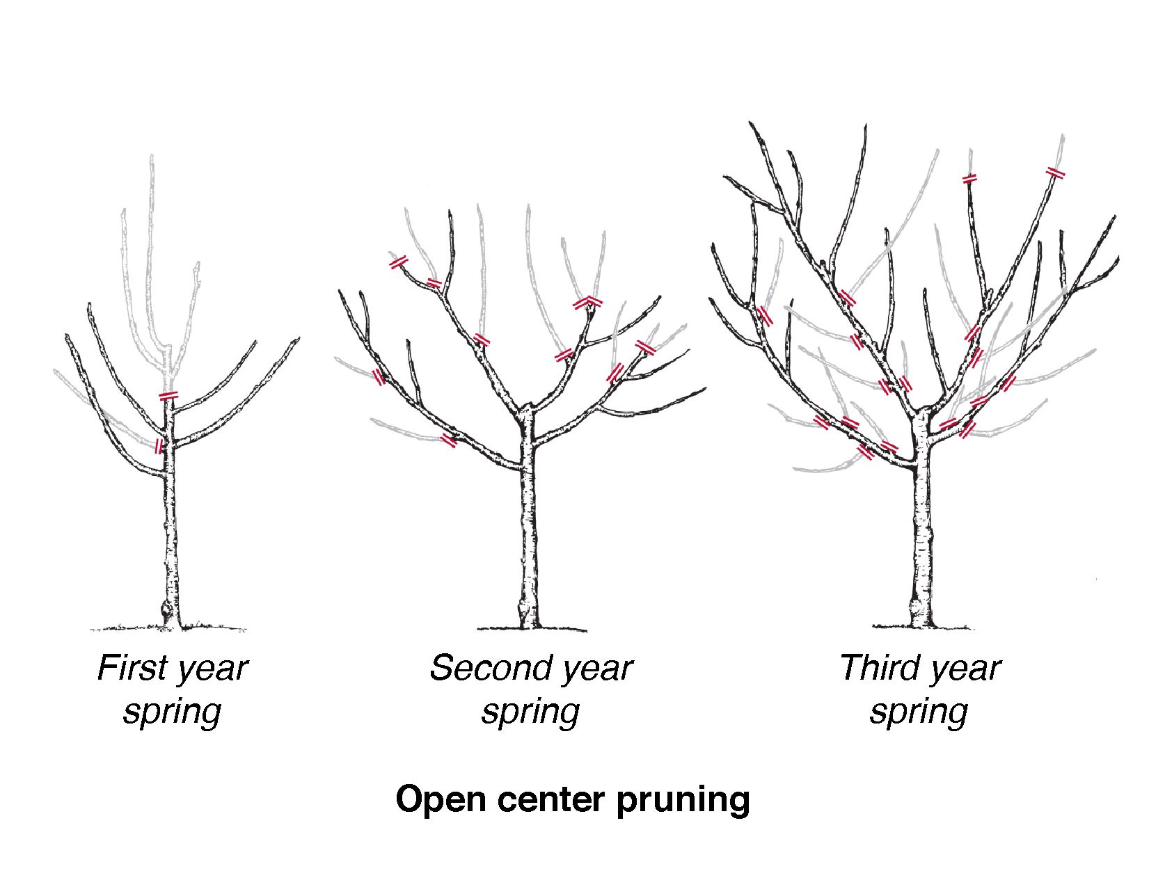 diagram showing three trees in stages of open center pruning