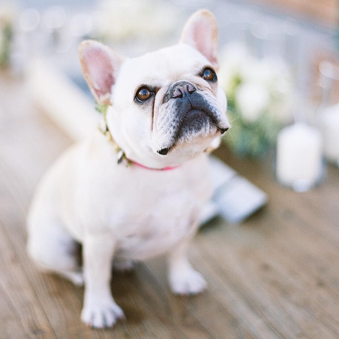 Frenchie pup photographed by Sylvie Gil Bouledogues