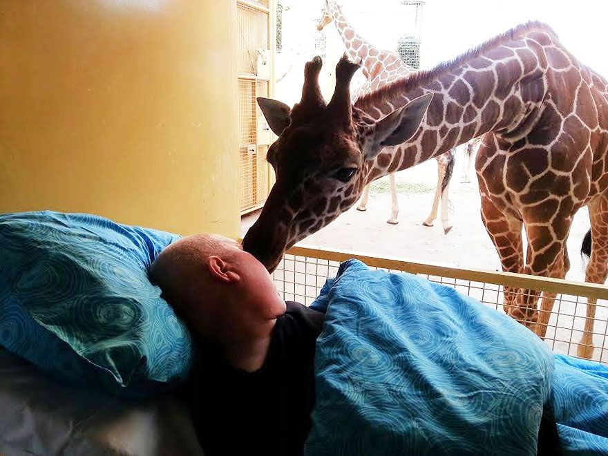 Final Farewell Giraffe Giving A Lick To Dying Zoo Keeper Zoo - griffe für küche