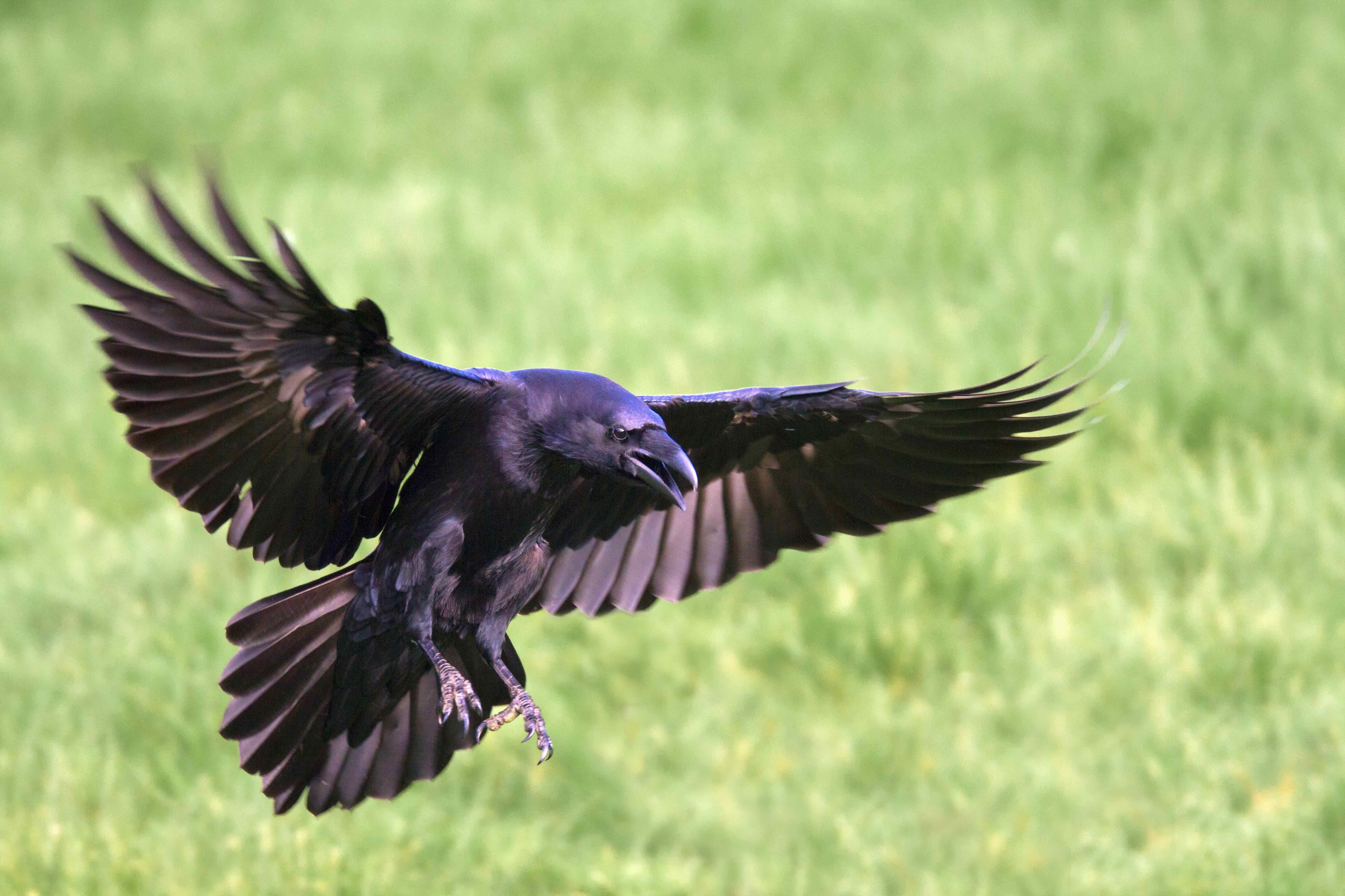 Ravens flying wallpaper - photo#39