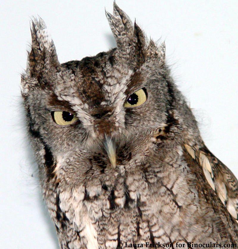The owls of Harry Potter | Owl, Owl photos, Screech owl