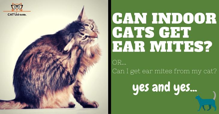 Can Indoor Cats Get Ear Mites Indoor Cat Cats Outdoor Cats