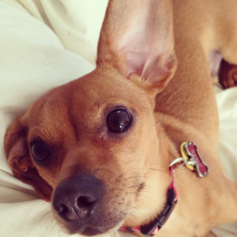 Chiweenie Chiweenie Dogs Cute Animals Dog Lovers