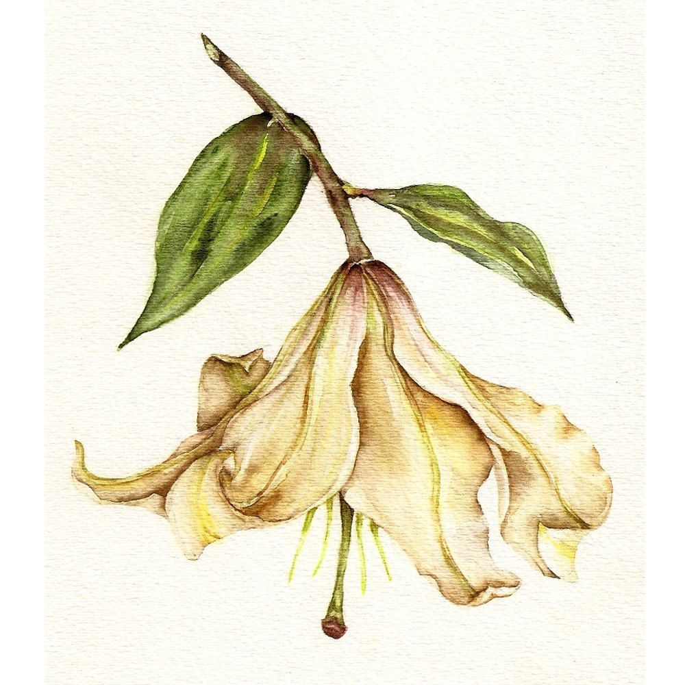 White Lily Botanical Art Print Of Watercolor Painting 8x10 Flower Nature Kitchen Cottage Study Cab Botanical Art Prints Botanical Art White Lily Flower