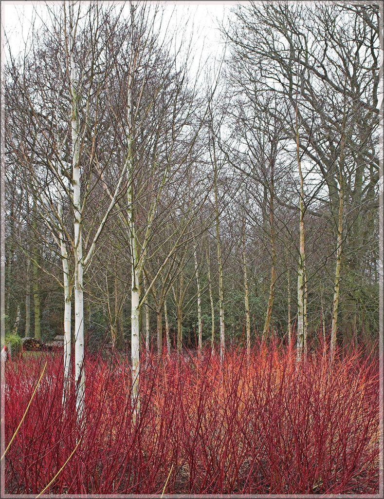 Dogwood And Silver Birch Birch Trees Garden Birch Trees Landscaping Garden Landscape Design